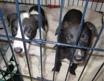 greyhound overbreeding 2