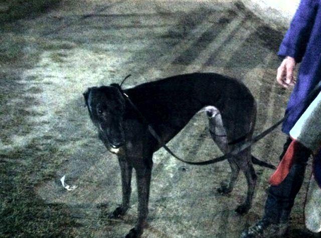 Greyhound_Riverside_Drogba-big